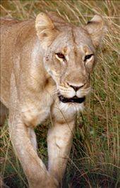 Mom Lion: by nem, Views[84]