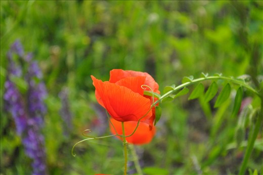 I stand proud, beautiful and alone. Poppy Burnaby PK Summer Vancouver