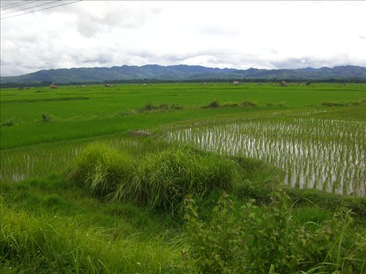 Rice paddies for miles...