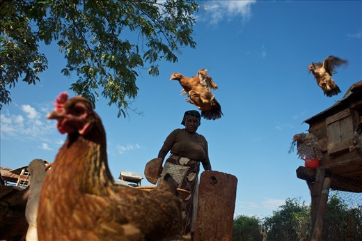 A lady feeds chickens in the rural village of Kilaatu, south of Nairobi