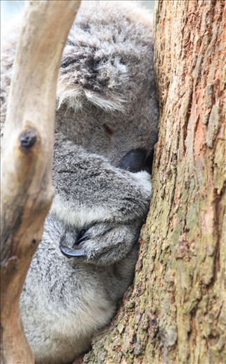 Koala – can this beautiful koala be cute and cuddly?! Happy in its habitat 'gum tree',  showing it's true features of thick wooly fur for protection, claws for gripping onto the tree and it's big nose to smell for gum leaves.