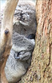 Koala – can this beautiful koala be cute and cuddly?! Happy in its habitat 'gum tree',  showing it's true features of thick wooly fur for protection, claws for gripping onto the tree and it's big nose to smell for gum leaves.: by nicolea, Views[231]