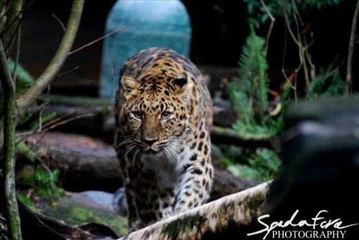 An Amur Leopard, taken at the Oregon Zoo, prowling her exhibit