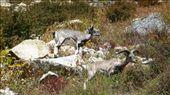 Dear Himalayan Deer: by nimai_pandit, Views[71]