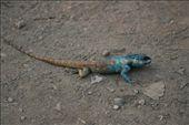 Myanmar, Simbo: beautiful lizard: by niviosabine, Views[565]