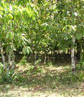 cocoa plantation: by nkem, Views[666]