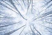 Dead Birch trees in the beginning of winter, makes it seem peaceful : by nlfeifel, Views[104]