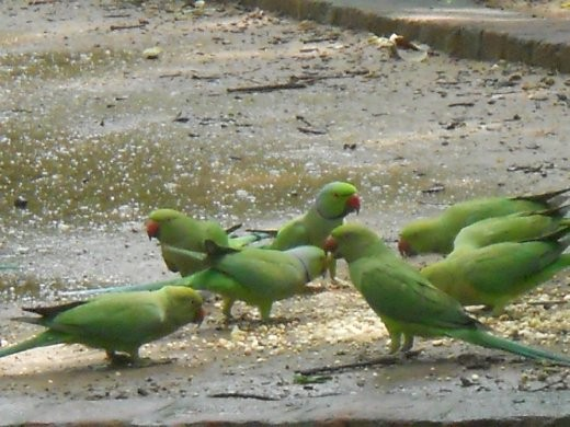 Parakeets at the textile museum