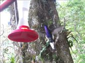 Iridescent purple humming bird, this one never sat still: by nomad_kiwis, Views[279]