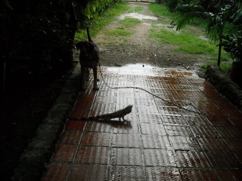 this dog ate this iguana in Aguachica!
