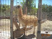 this llama (said 'yama') isn´t too friendly: by nomad_kiwis, Views[450]