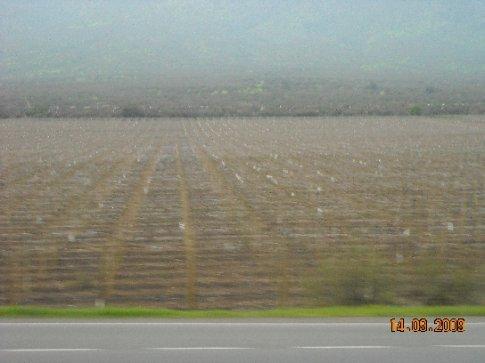 Kiwifruit orchard?