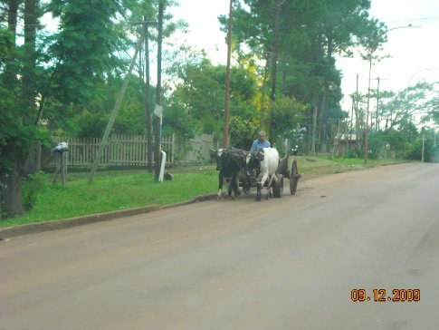 Carol loves these oxen and carts, often the wheels are the old wooden ones