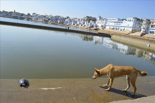 It might be Pushkar..but its still a Dog eat Dog...err Turtle world
