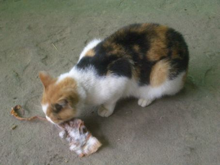 Shopkeepers cat feasting on dried squid.