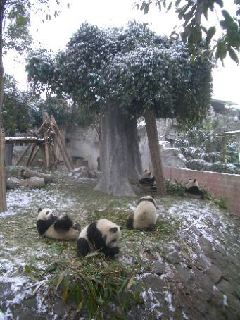 Breakfast time at the Giant Panda research base