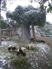 Breakfast time at the Giant Panda research base: by nomadnorrie, Views[2195]