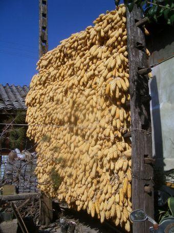 Corn on the cob drying in Baisha