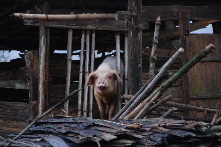 Basha village pig house