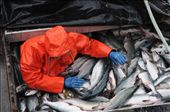 Paydirt! A deckhand on the F/V Top Gun manages to extract himself from 22,000lbs of freshly caught pink salmon, known as