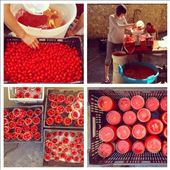 Processing the sweet, sun-drenched cherry tomatoes in my pyjamas in Campania.: by noodles, Views[253]