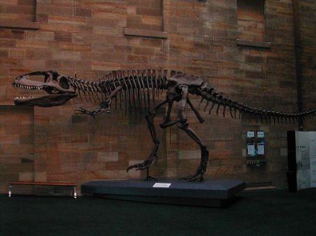 Australian museum, esqueleto de un velociraptor