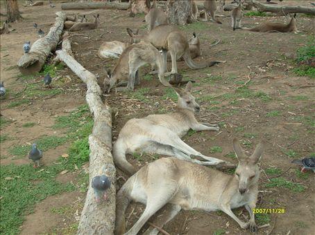 Kangaroos!! Estoy acostumbrada a verlos, pero jamas habia tocado uno son ricos los desgraciados, estos estan domesticados y no te hacen nada