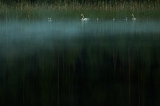 Family of whooper swan in the dark misty