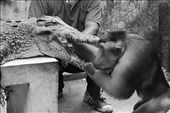A trained crocodile and monkey attraction entertain the visitors.  The trainer put a bean into the crocodile's mouth and the monkey open its mouth to take the bean and eat it.: by odell, Views[1150]