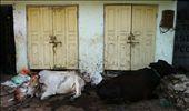 Hay aún más vacas por las calles...de echo uno intenta atacar a Yasmin!: by olivia_cerezo, Views[118]
