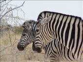 Zebras: by ontheroadandoff, Views[399]