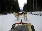 Dogsledding through the mountains! If I had a way of taking each one of those pups home, I would have gone home that afternoon via sledding to Calgary airport. I later found out a nearby dog sledding company destroyed a large number of their dogs due to a rapid decline in business. If my business helped this company in the slightest, I wouldve paid four-fold the price.: by ookylzoo, Views[163]