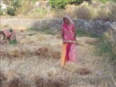 Village lady harvesting wheat: by over-40, Views[1317]