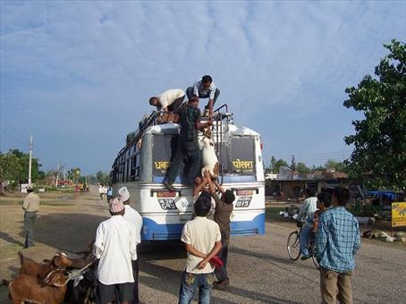 Loading Goats onto bus roof