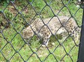 Nainital Zoo - snow leopard - Jenny says he was beautiful: by over-40, Views[3719]