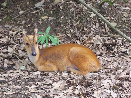 Nainital Zoo - Barking Deer - a smaller deery thing