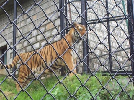 Nainital Zoo - Siberian Tiger (it is huge), a tigery thing that is not to be confused with a Bengal Tiger