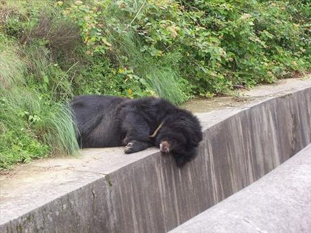 Nainital Zoo - Himalayan Bear, a beary thing not to be confused with other bears