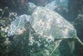 Maui, Hawaii  Turtles everywhere!: by ovolare, Views[139]