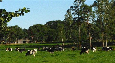 Lush dairy country near Skovde