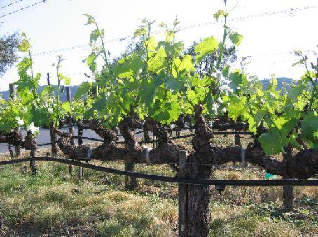 Mondavi grapevines