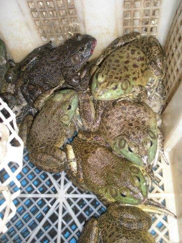 Frog pooridge anyone??