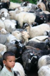 This small boys looks over a large heard of sacrificial goats his family has bought over from Tibet.: by patrea, Views[167]