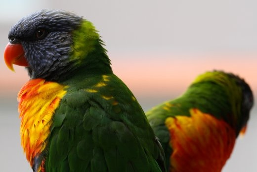 A rainbow lorikeet reflects the colours of the rainbow serpent: the great creator in the Aboriginal Dreamtime.