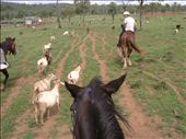 here's the view of a goat muster from my position on Rusty's back.  Rusty was a lovely horse with a rather slack work ethic.: by paul_byrom, Views[219]