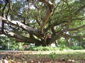 We found a park in the centre of Auckland which had lots of interesting trees to climb.: by paul_byrom, Views[2717]