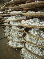THIS IS THOUSANDS OF SILK COCOONS BROUGHT IN BY FARMERS AWAITING THEIR FETE: by paulmatthew, Views[182]