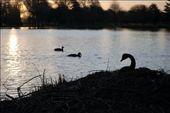 Por do sol em Christchurch, cisnes no ninho, patinhos no lago e tranquilidade.: by pauloaprado, Views[331]
