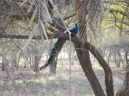India's national bird, the peacock