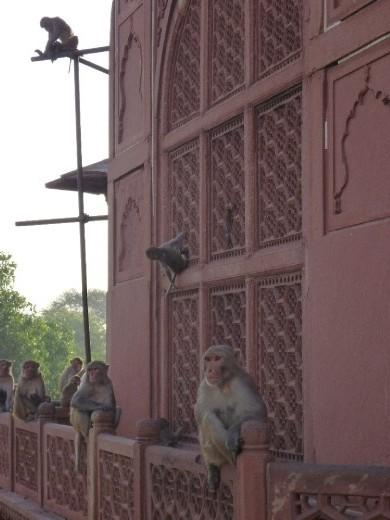 Monkeys watching the Taj Mahal